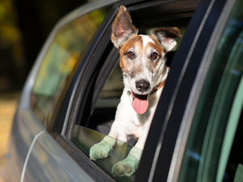 Small dog looking outside a car window with tongue stuck out of mouth.