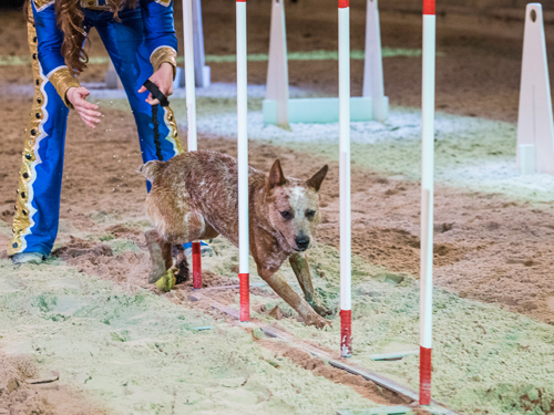 Dog running through obstacle course in live show in Branson.